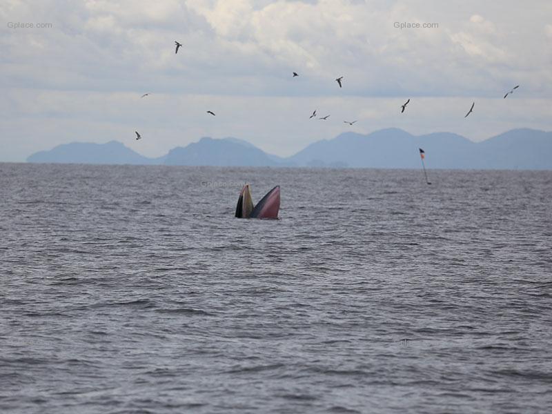 เที่ยวชมวาฬบรูด้า สัตว์หายาก ที่แหลมผักเบี้ย จังหวัดเพชรบุรี